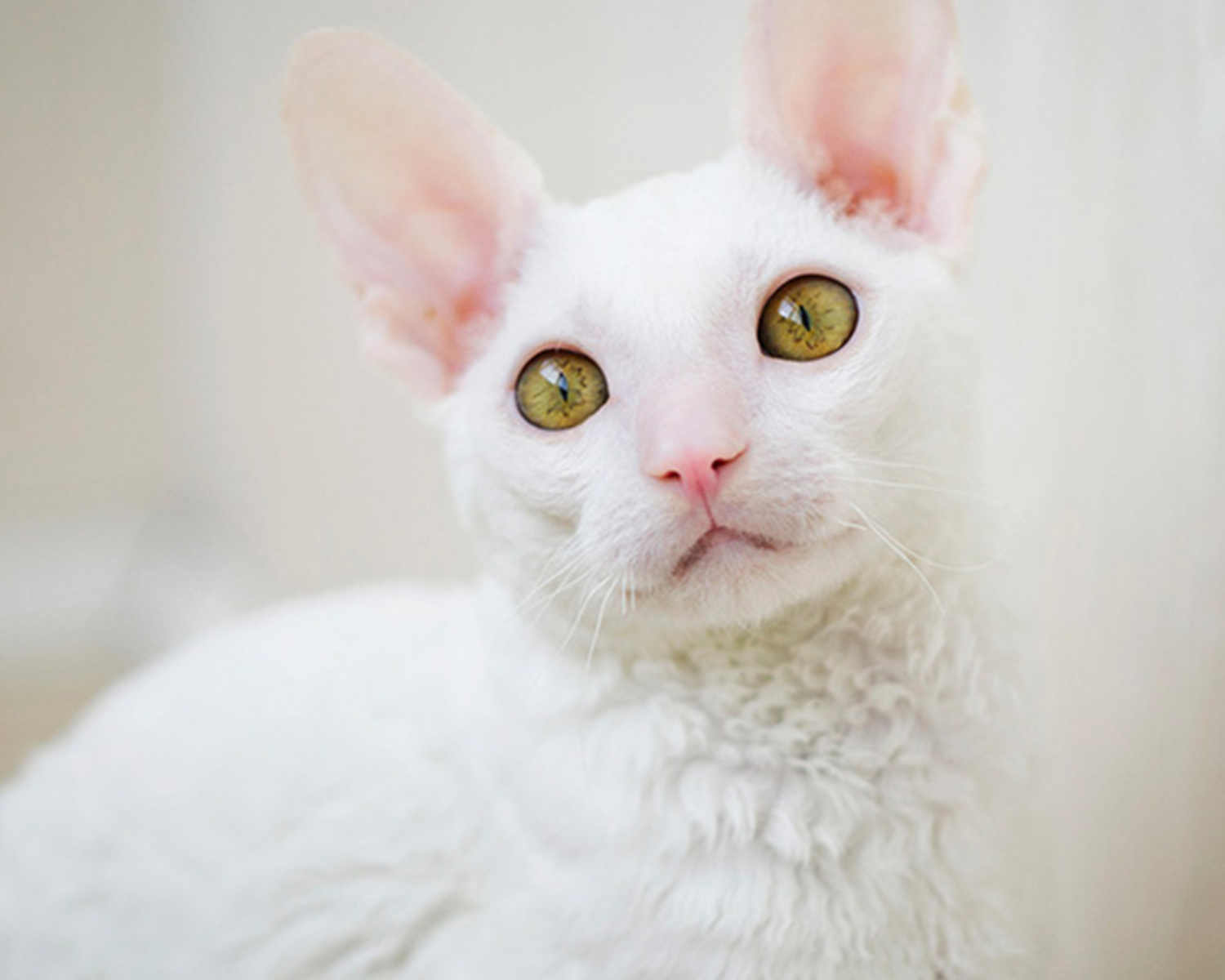 Cornish Rex -rotu